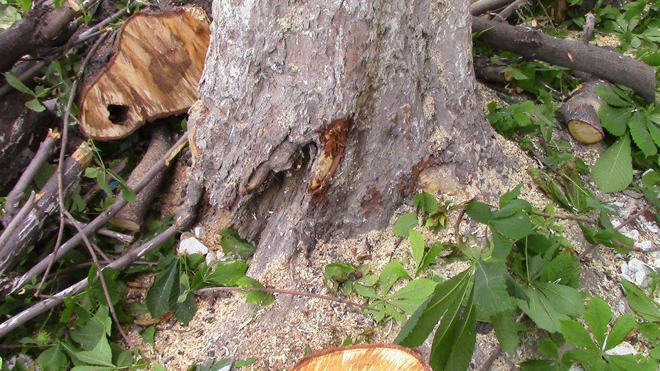 stari-drva-16